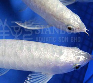 请教楼房称重问皇冠黑白魟鱼好养吗题