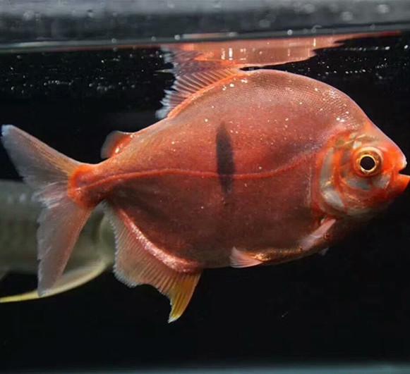 商洛玫瑰银版鱼 商洛水族新品 商洛水族批发市场第2张