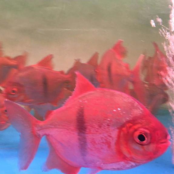 商洛玫瑰银版鱼 商洛水族新品 商洛水族批发市场第3张