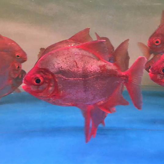 商洛玫瑰银版鱼