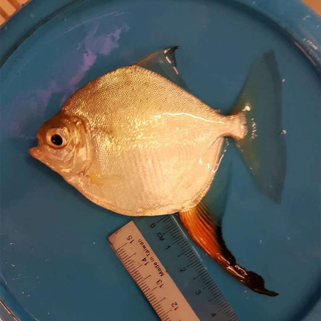 商洛红勾银版鱼